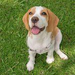 Regular heart checks for dogs in Essex