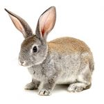 What rabbits are talking about in Purleigh