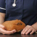 Edgewood Vet's tips for guinea pig travel