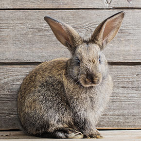 Protect your rabbit from fireworks noise in Essex