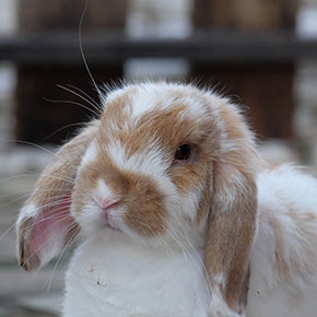 Health tips for senior rabbits in Essex
