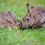Keep your rabbit safe outdoors in Purleigh