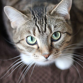 Cats in heat – the facts from Edgewood Veterinary Group