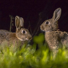 Bonfire night safety for rabbits in Essex