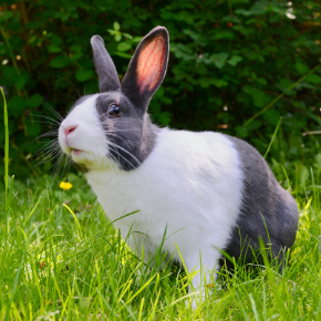 Edgewood Vet's summer safety tips for rabbits
