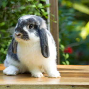 The most important behaviour Purleigh rabbit owners must recognise